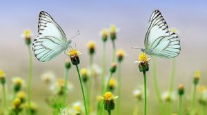 Butterflies Attracted by Flowers